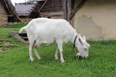Коза Стоковые Фото