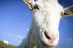 Коза стоковая фотография