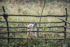 Коза Стоковые Изображения RF