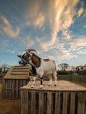 Коза Стоковое фото RF