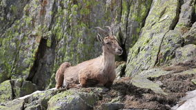 Коза Ibex в своей естественной среде обитания акции видеоматериалы