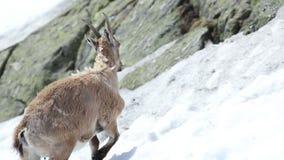 Коза Ibex в своей естественной среде обитания сток-видео