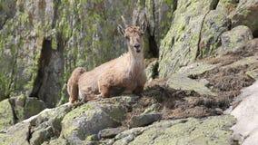 Коза Ibex в своей естественной среде обитания видеоматериал