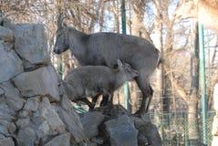 Коза Ibex стоковая фотография