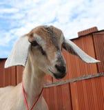 Коза Nubian с белыми ушами смотрит прямо из намордника смешного стоковое фото rf