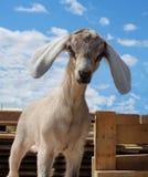 Коза Nubian с белыми ушами смотрит прямо из намордника смешного стоковые изображения rf