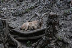 Козочка горы Стоковая Фотография RF