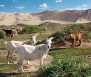 Козочка - дюна - пустыня - Монголия Стоковые Изображения RF