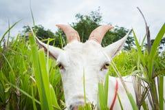 Козочка есть траву Стоковая Фотография