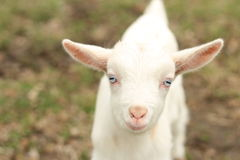 козочка младенца Стоковое фото RF