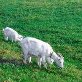 Козочка на траве Стоковое Фото