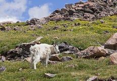 Козочка утесистой горы в горах Стоковое фото RF