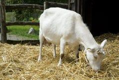 козочка фермы Стоковое Фото