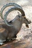 Козочка Ibex Стоковая Фотография RF