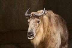 Козочка Takin Himalayan в солнечном свете Стоковые Фотографии RF