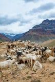 Козочки горы, долина Spiti Стоковые Фото