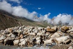 Козочки горы, долина Spiti Стоковое Изображение RF