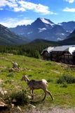 Козочки горы Стоковые Изображения RF
