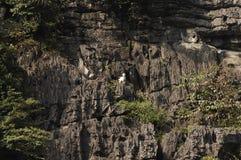 Козочки горы Стоковые Фото