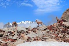 Козочки горы Стоковое Изображение RF