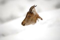 Козочки и снежок горы Стоковое фото RF