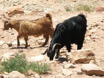 козочки пустыни Стоковое Изображение