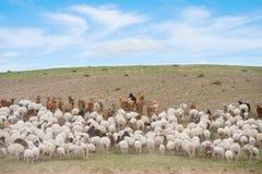 козочки стаи вели овец Стоковое Фото