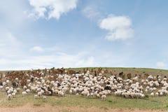 козочки стаи вели овец Стоковые Изображения RF