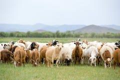 козочки стаи пася овец Стоковая Фотография