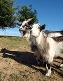 козочки 2 фермы Стоковое Изображение RF