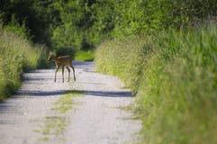 козули европейца оленей Стоковое Фото