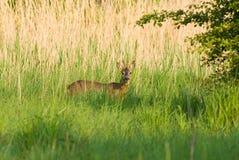 козули оленей самеца оленя Стоковая Фотография RF