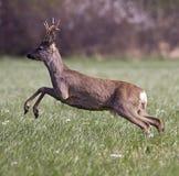 козули оленей скача Стоковое Изображение RF