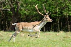 козули оленей Стоковые Фотографии RF