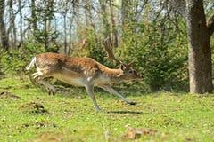козули оленей Стоковая Фотография
