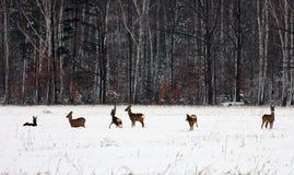 козули оленей Стоковые Изображения RF