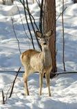 козули оленей Стоковое Изображение RF