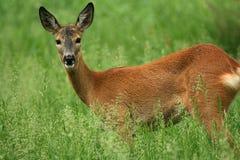 козули оленей Стоковые Фото