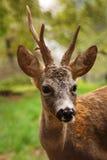 козули портрета самеца оленя Стоковое фото RF