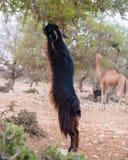 Козы Брайна взбираясь в деревьях argan для еды марокканського Essaouira Стоковые Изображения