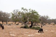 Козы Брайна взбираясь в деревьях argan для еды марокканського Essaouira Стоковая Фотография RF