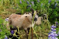 Козы Брайна в полях люпина, Исландии Стоковые Фото