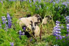 Козы Брайна в полях люпина, Исландии Стоковые Изображения