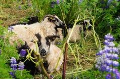 Козы Брайна в полях люпина, Исландии Стоковые Изображения RF