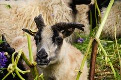Козы Брайна в полях люпина, Исландии Стоковая Фотография RF