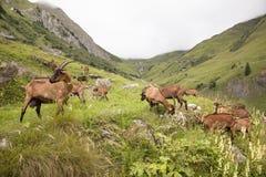 Козы Брайна в французских горных вершинах Стоковые Изображения RF
