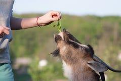 Козы Брайна едят траву от рук девушки на день лета солнечный Стоковые Изображения
