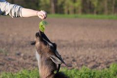 Козы Брайна едят траву от рук девушки на день лета солнечный Стоковое Фото