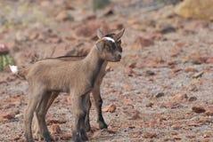 2 козы Брайна младенца стоя совместно смотрящ милый Стоковые Изображения RF