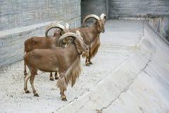 Козы Брайна стоят в зоопарке Стоковое Фото